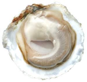 Platte Zeeuwse Oesters